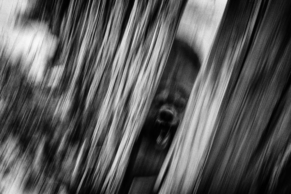 Un chien défend la propriété de son maître derrière sa 'khasha', sa palissade, à Bayan-Khoshuu, un quartier déshérité situé à l'ouest d'Oulan-Bator. L'exode rural et l'arrivée massive des nomades dans la capitale mongole ces dernières années a gonflé le nombre d'habitants en péripherie de manière exponentielle. Les codes ancestraux s'en voient profondément bouleversés, comme celui de devoir dorénavant délimiter son territoire de celui du voisin par des hautes palissades faites de planches de bois et de tôle. © Olivier Laban-Mattei