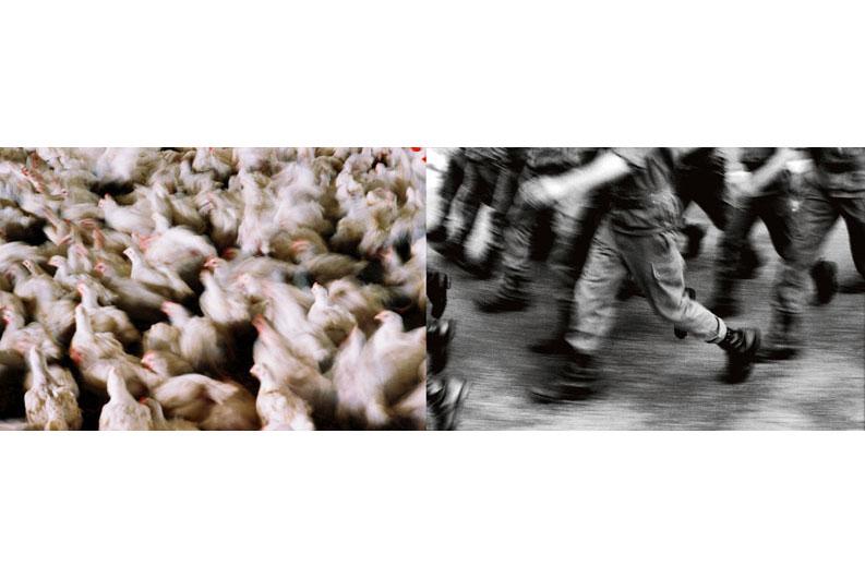 Une vie de poulet