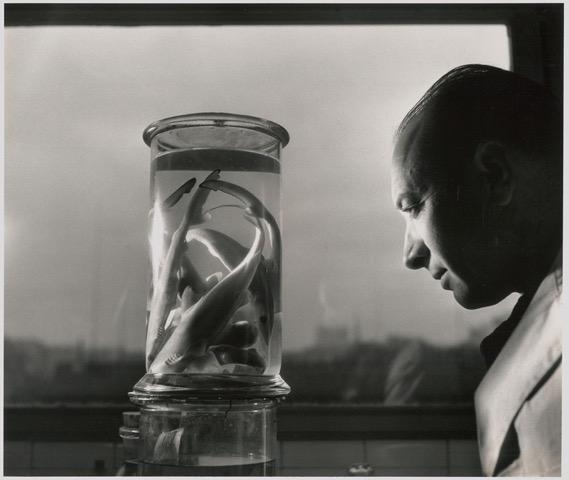 copyright Atelier Robert Doisneau, Le professeur Paul Budker contemplant des bébés requins - 1943