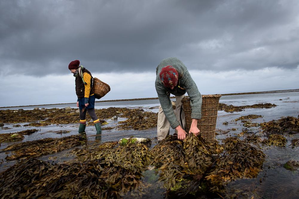 Sligo, Irland, le 2 août 2016.  L'allemand Tobias Lück, paysagiste et maraîcher, spécialisé dans la permaculture et dans les algues, et l'irlandaise Tara Baoth Mooney, spécialiste des algues et artiste chanteuse, ramassent différentes variétés d'algues, ici le fucus serratus, appelé aussi Fucus ou Varech dentelé, sur une plage dans la région du comté de Sligo, qui sera confectionné pour la préparation de bain d'algues et d'aliments, pour être vendu à des particuliers en direct ou sur des marchés locaux.